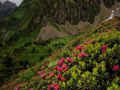 Les rhododendrons et la pointe de Balafrasse